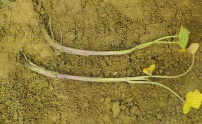 甘薯黑斑病为害幼苗根部症状