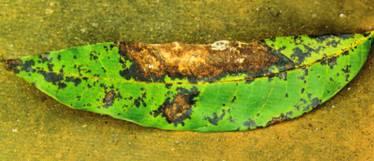 芒果盘多孢叶枯病为害叶缘症状