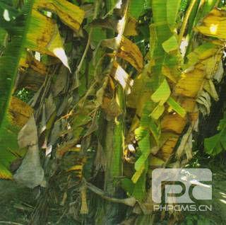 香蕉枯萎病为害叶片倒垂型黄化症状