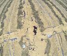 翁田镇西瓜种植地即将收获的西瓜已被泡烂