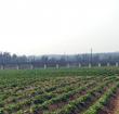 科技种植桥沙地瓜