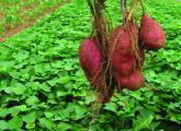 新鲜出土的地瓜