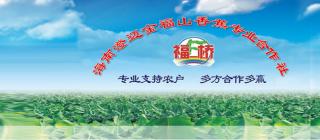 金福山香蕉合作社·澄迈