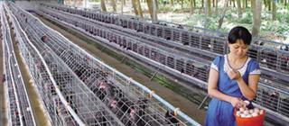 富涵家禽专业合作社·白沙