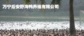 后安野海鸭养殖基地·万宁