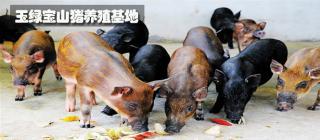 玉绿宝山猪养殖基地·昌江