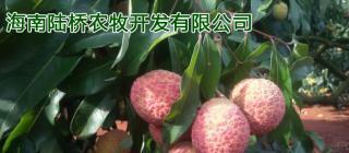 陆桥荔枝 ·澄迈