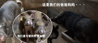 琼农五指山野黄金猪·农科院