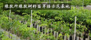 橡胶所橡胶树籽苗芽接示范基地·儋州
