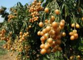 黄皮果的繁殖方法