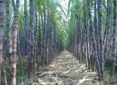 甘蔗人工栽培