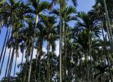 槟榔的栽培种植与病虫害防治