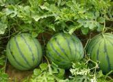 西瓜种植方式