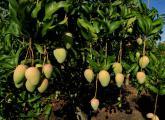 芒果的栽培技术与病虫害防治