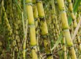 黄皮果蔗的优秀种植技术和病虫害防治