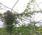 基地内间种百香果